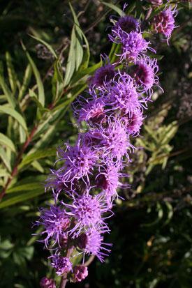 https://web.extension.illinois.edu/wildflowers/nativeplants.cfm